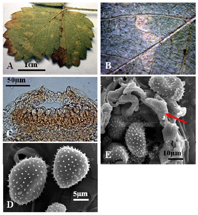 (PDF) Species of Uromyces (Pucciniales, Basidiomycota) on