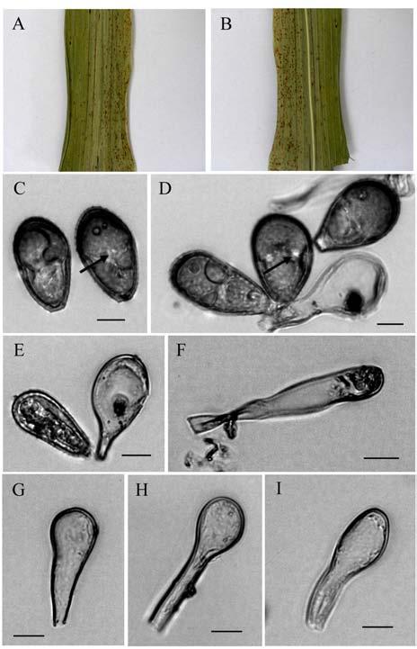 Basidiomycota >> Basidiomycetes >> Puccinales >> Uromyces